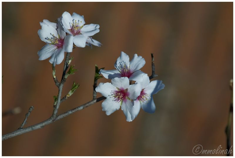 Almond tree's flower