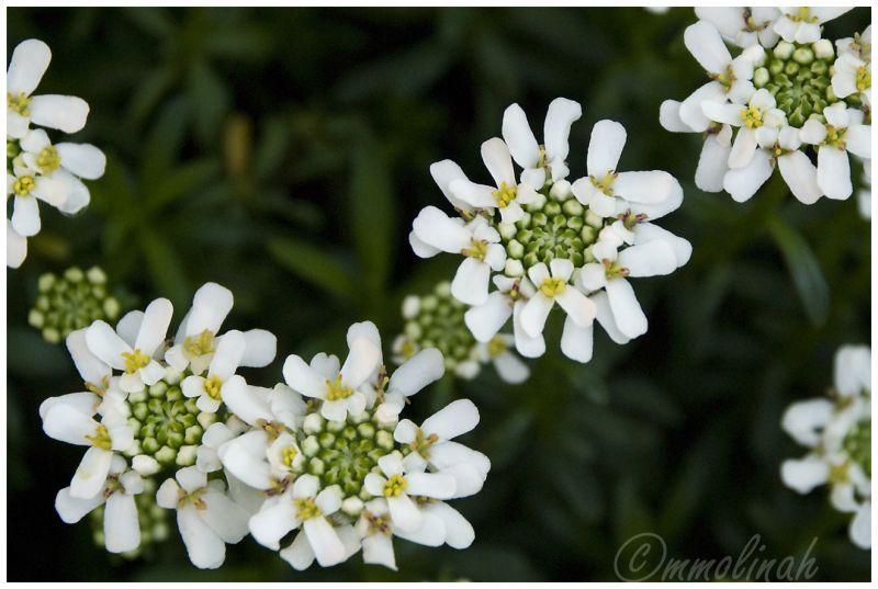 Flower flor mmolinah