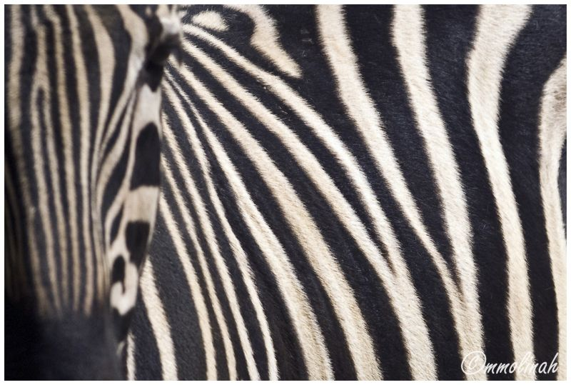Zebra  animal mmolinah