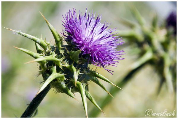 Green and blue Thistle