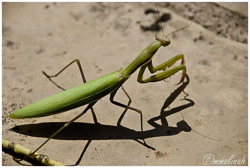 praying mantis religiosa insect mmolinah