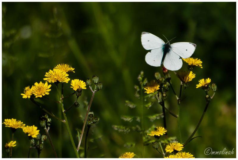 SPRINGTIME (Butterfly)