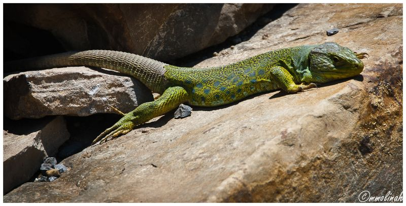 """""""CÁDIZ'S LANDS"""" # 7 (fauna, Lizard)"""