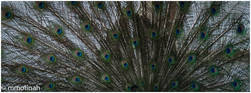 PEACOCK  (Tail estructure)