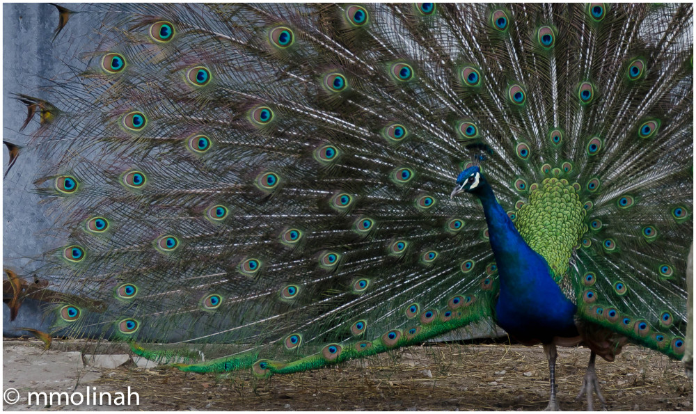PEACOCK ( It show off )
