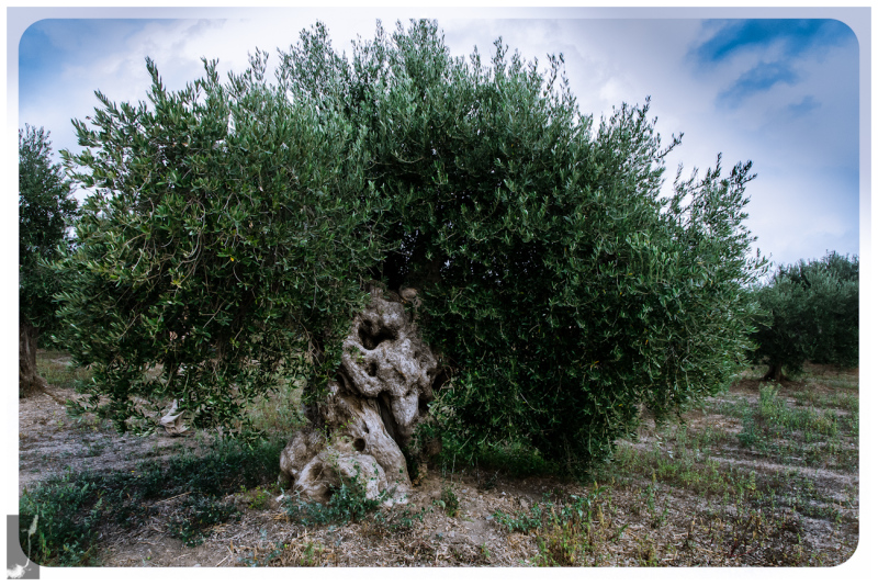olivetree olivo olivera molinah
