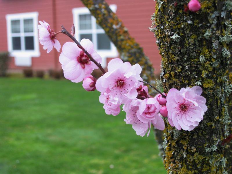 Sakura Are in Bloom