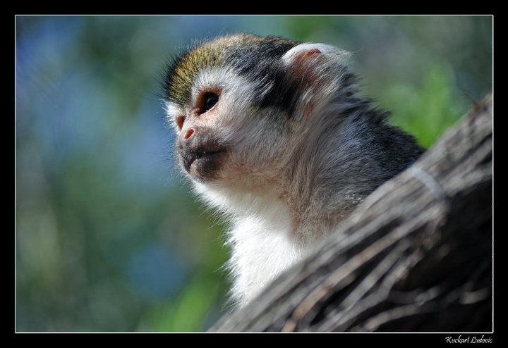 Singe-ecureuil