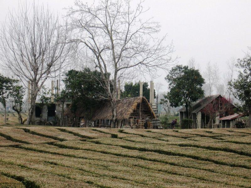 tea fields in lahijan