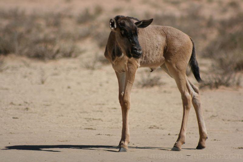 Blue wildebeest calf