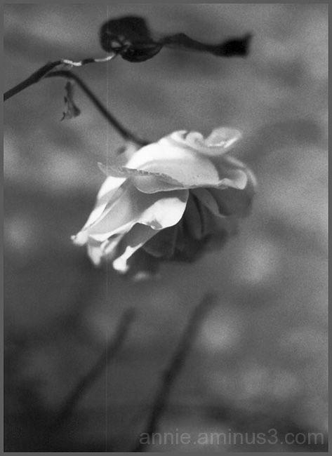 Rose à la rayure