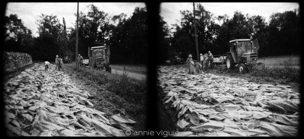 Récolte du tabac - Lot -  septembre 2009 -