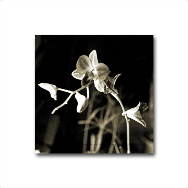 Orchidée - 2