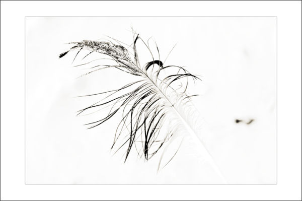 Plume de mouette