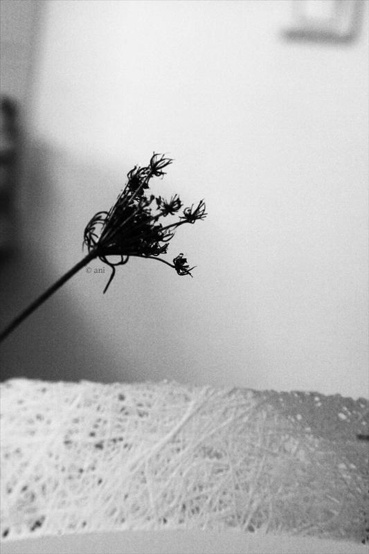 Carotte sauvage en graines - 1/2