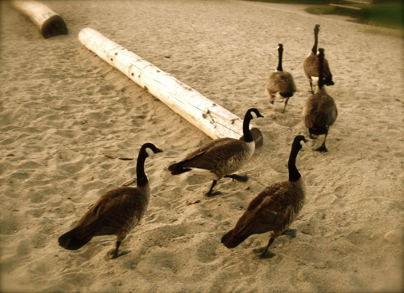 geese walking in formation on a beach