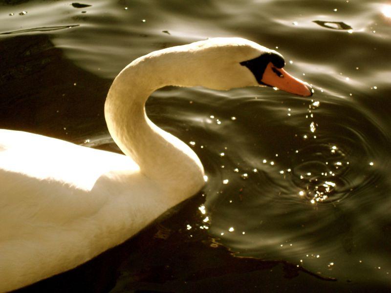 a swan in water