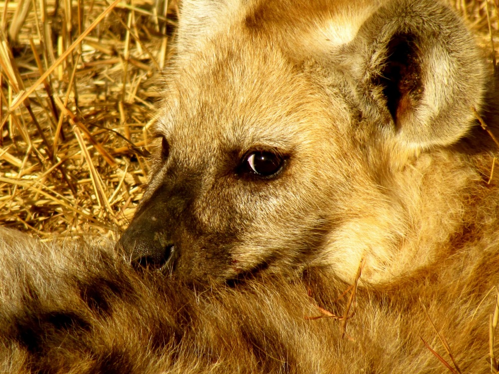 Glance from a Hyena