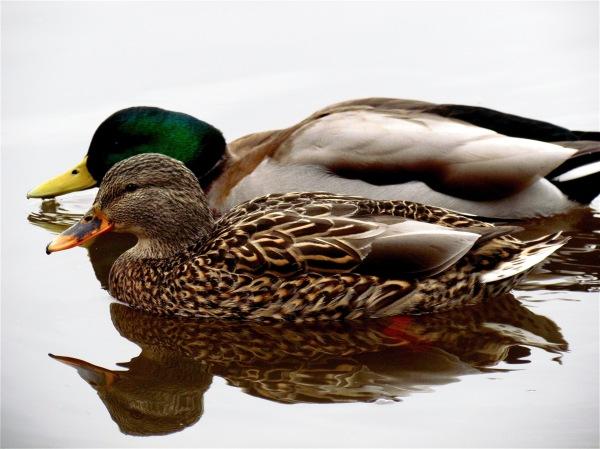 A Couple of Ducks