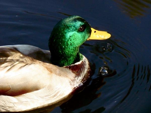 Duck (2)