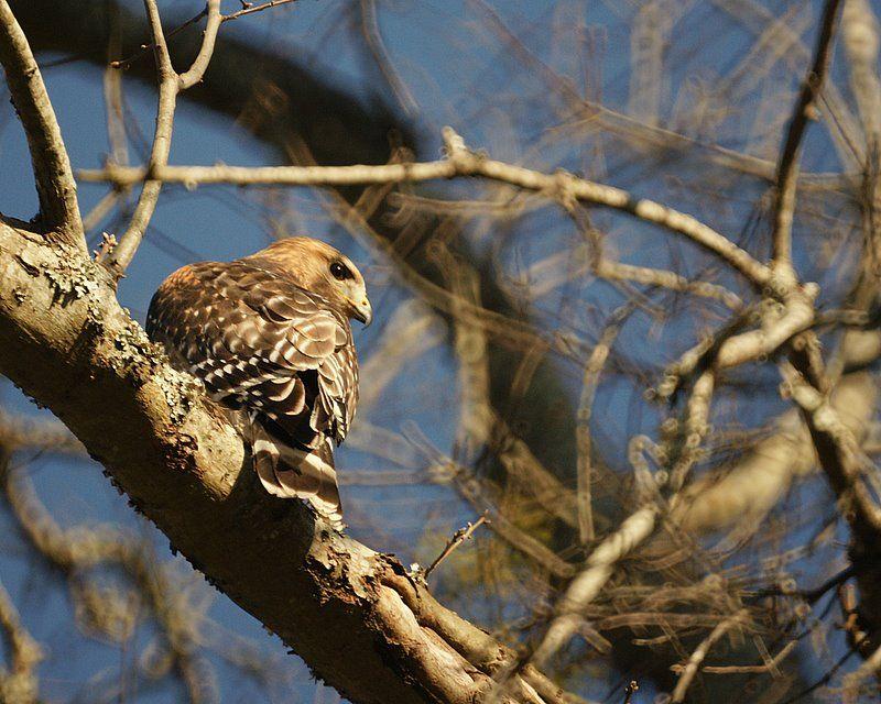 Friendly Neighborhood Hawk