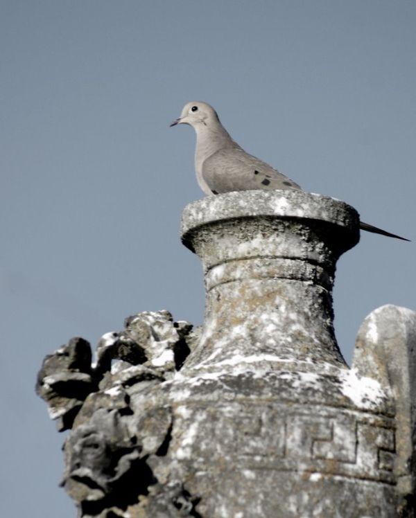Same dove, a little softer