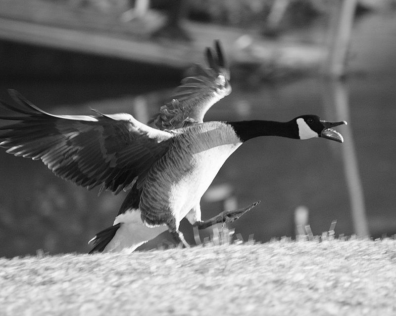 Silly Goose Tuesday