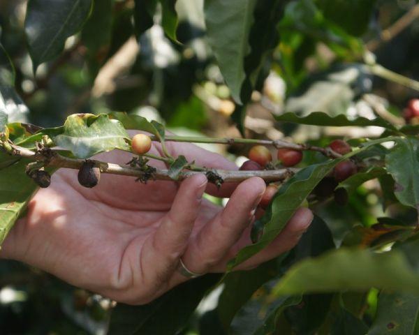 Coffee cherries - Costa Rica #25