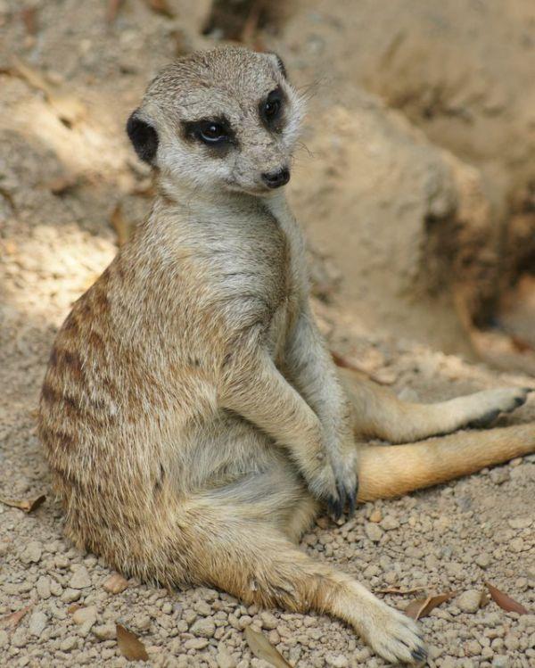 Meerkat - The Casual Pose