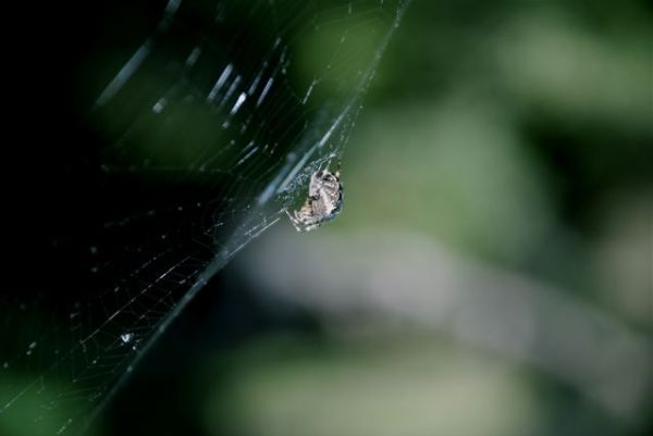 A photo of a spider on it's web.