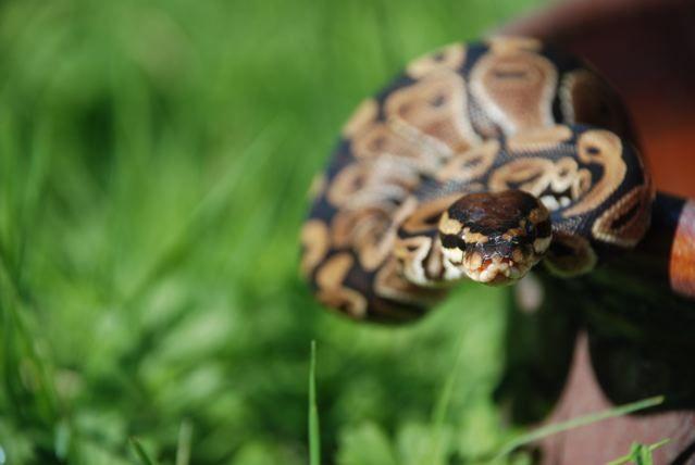 My daughters snake posing