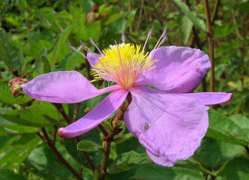 purple fragance