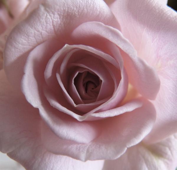 rosa IV