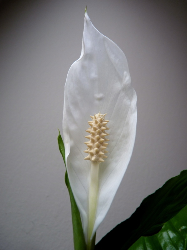 spathiphyllum II