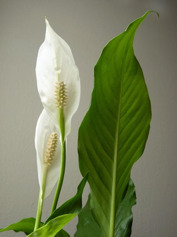 Spathiphyllum III