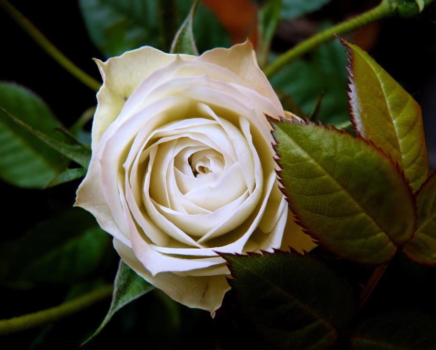 rosa V