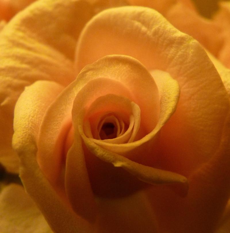 rosa VI