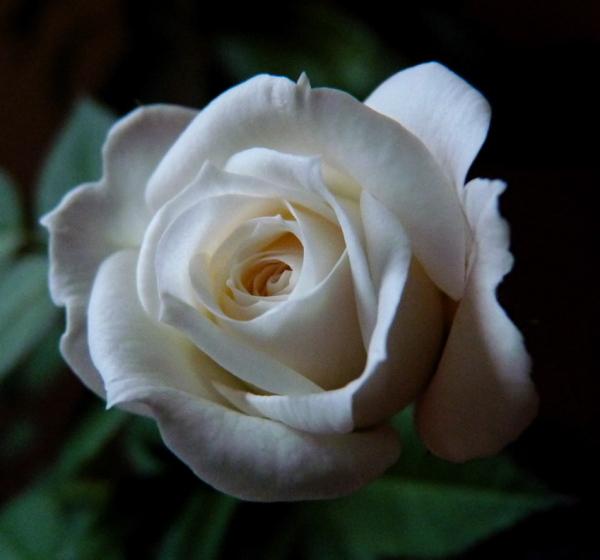 rosa VIII
