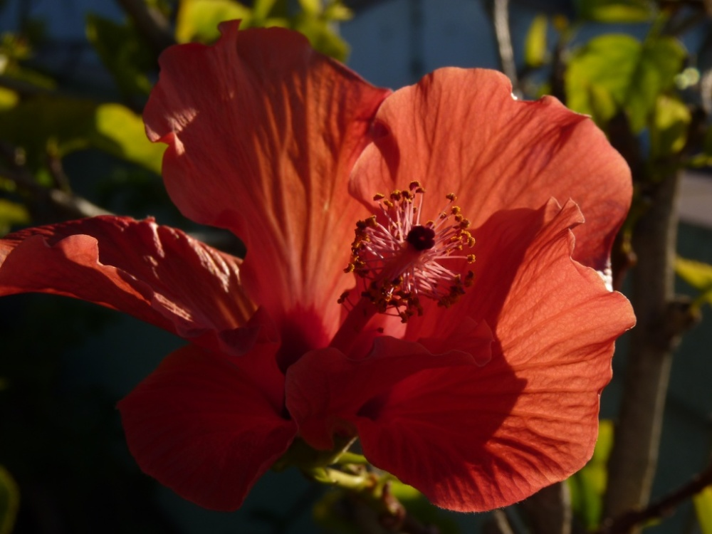 neighbour's hibiscus