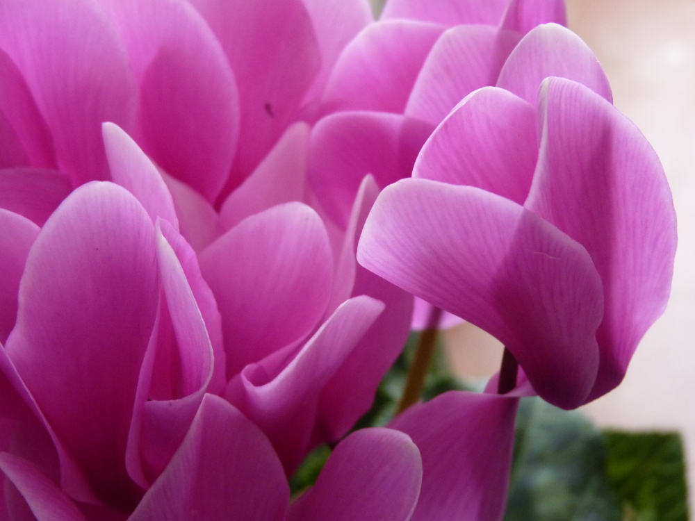 cyclamen world