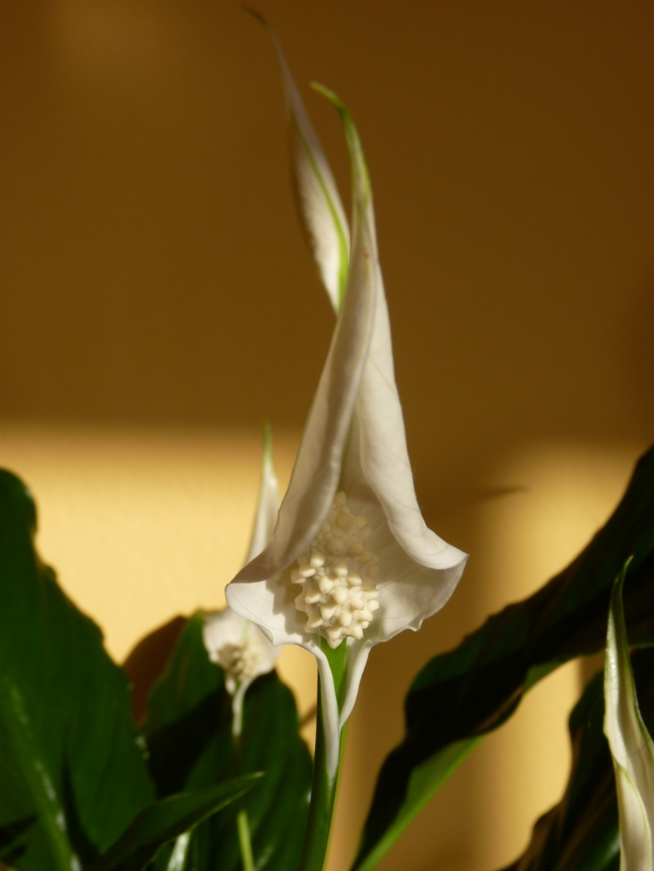Agraïda (Spathiphyllum)
