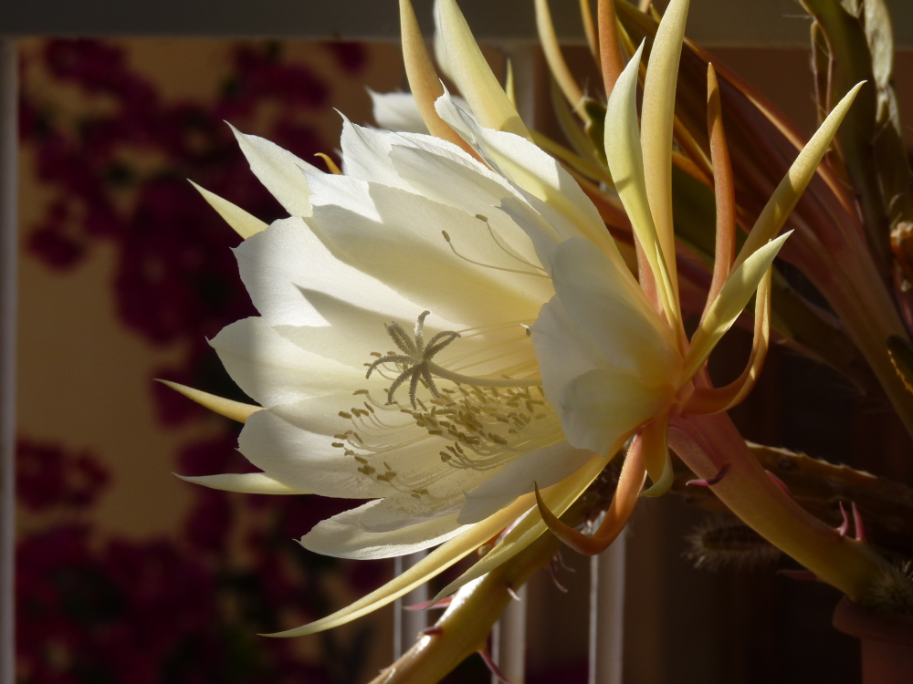 Night blooming cereus (Queen of the night)