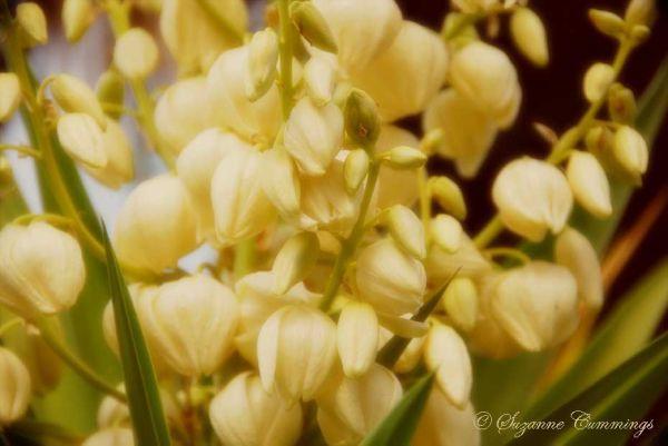 Vintage Yucca Flower