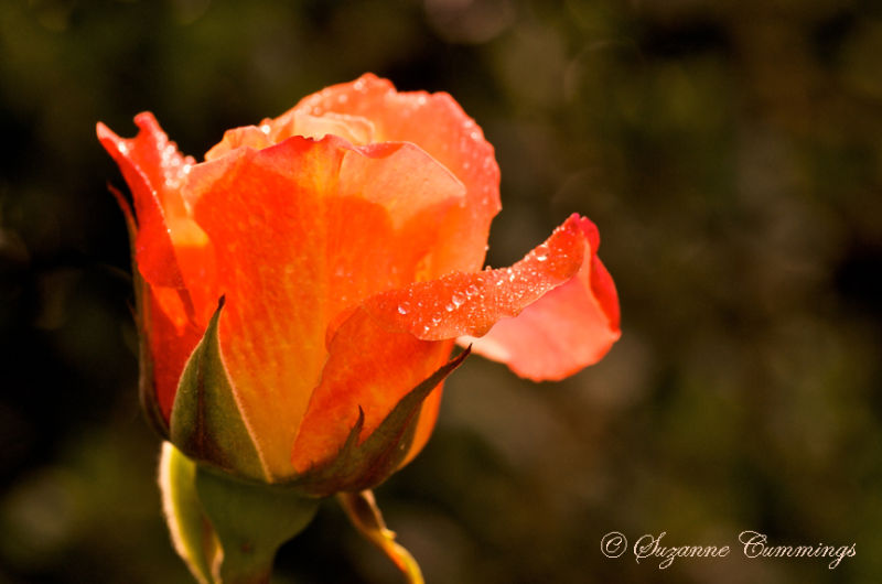 Rose flower flowers plant