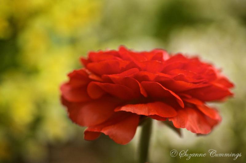 Ranunculus, Descanso Gardens, California