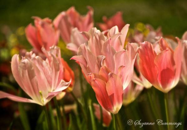 Tulip, Descanso Gardens, California