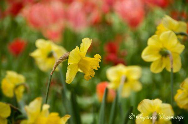 Tulips, Descanso Gardens, California
