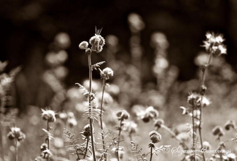 California Wildflowers, Descanso Gardens, CA