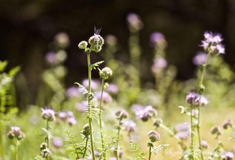California Wildflowers, Descanso Gardens, Californ
