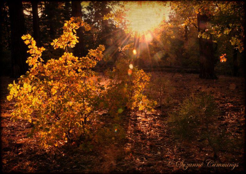 forest trees oak sunflare autumn